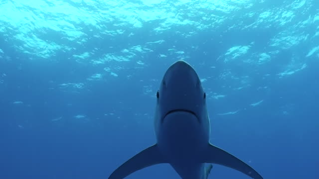 Blue shark swims straight at camera, The Azores, Portugal.