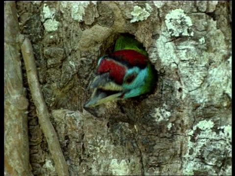CU Blue throated barbet head at nest hole, mouth open, India