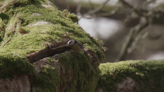 Blue tit (Cyanistes caeruleus) enters nest hole in oak tree, Cumbria, England