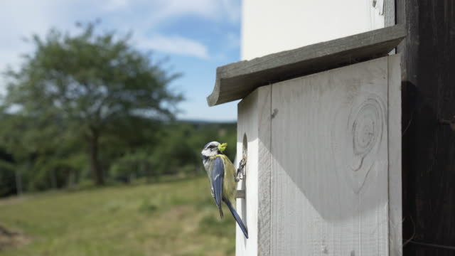 Blue Tit (Cyanistes Caeruleus) in Real Time