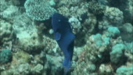 MS Blue triggerfish (Odonus niger) swimming over coral in Red Sea / Sharm-el-Sheikh, Egypt