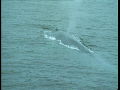 Blue Whale surfaces, spouts and submerges, California