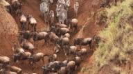 MS TD Blue wildebeest and burchell's zebra crossing river during Migration / National Park, Africa, Kenya