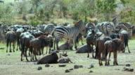 Blue Wildebeest & Burchell'S Zebra Maasai Mara  Kenya  Africa