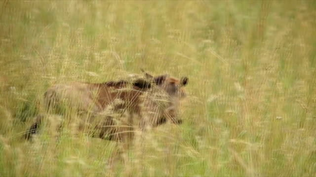 PAN MS Blue Wildebeest calf walking in long grass / Pilanesberg National Park/ North West Province/ South Africa