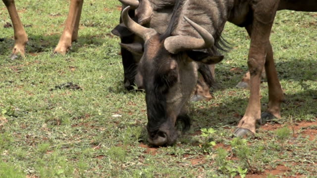 SLO MO CU Blue Wildebeest grazing on grass / Pilanesberg National Park/ North West Province/ South Africa
