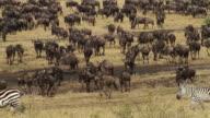 blue wildebeest (Connochaetes taurinus)- Herd of wildebeest running in Savannah