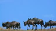 Blue Wildebeest Migrating Maasai Mara  Kenya  Africa