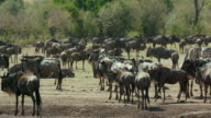 Blue Wildebeest Waiting Maasai Mara  Kenya  Africa