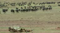Blue Wildebeest Walking & Dead Carcass Maasai Mara  Kenya  Africa