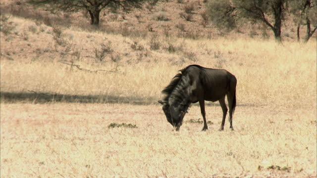 MS TS Blue Wildebeest (Connochaetes taurinus) walking through grassland, Kgalagadi Transfrontier Park, Northern Cape, South Africa