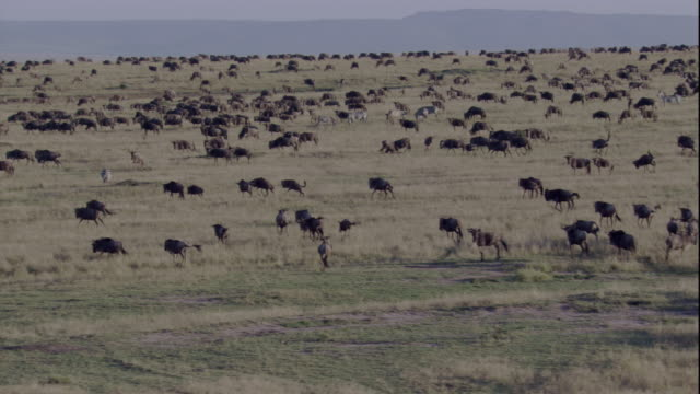 Blue wildebeests and black wildebeests herd together as they migrate across the Masai Mara game reserve. Available in HD.