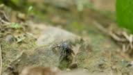 Blau-gestreifter Biene Saugen Mineralien auf rock Flüssen.