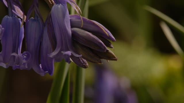 T/L Bluebell (Hyacinthoides non-scripta) flowers opening, United Kingdom, CU