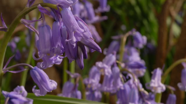 T/L Bluebell (Hyacinthoides non-scripta) flowers opening, United Kingdom, MS