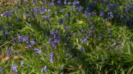 T/L Bluebell (Hyacinthoides non-scripta) shadows, United Kingdom