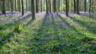Bluebells forest at sun in the spring, Hallerbos, Halle, Vlaams Gewest, Brussels, Belgium, Europe