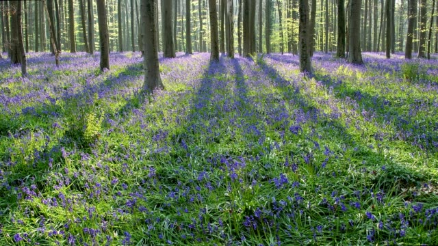 Bluebells forest at sun in the spring, Hallerbos, Halle, Vlaams Gewest, Brussels, Belgium, Europe