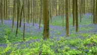 Bluebells forest in the spring, Hallerbos, Halle, Vlaams Gewest, Brussels, Belgium, Europe