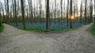Bluebells forest with forked path at sunset in the spring, Hallerbos, Halle, Vlaams Gewest, Brussels, Belgium, Europe