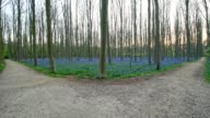 Bluebells forest with forked path in the spring, Hallerbos, Halle, Vlaams Gewest, Brussels, Belgium, Europe