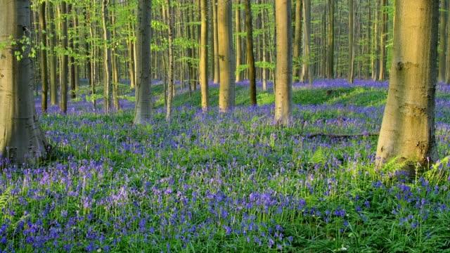 Bluebells forest with in the spring, Hallerbos, Halle, Vlaams Gewest, Brussels, Belgium, Europe