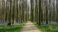 Bluebells forest with path and strollers in the spring, Hallerbos, Halle, Vlaams Gewest, Brussels, Belgium, Europe