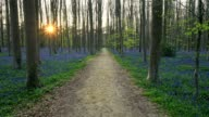 Bluebells forest with path and sun in the spring, Hallerbos, Halle, Vlaams Gewest, Brussels, Belgium, Europe