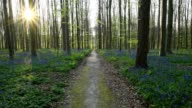 Bluebells forest with path with sun in the spring, Hallerbos, Halle, Vlaams Gewest, Brussels, Belgium, Europe