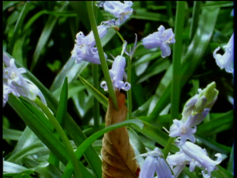 Bluebells grow, pushing through green grass and begin to bud and bloom