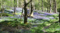 Bluebells growing in jiffey Knotts woods at brathey, near Ambleside in the Lake District National Park, Cumbria, UK.