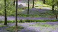 Bluebells in Jiffy Knott woods, Ambleside, Lake District, UK.