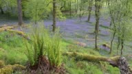 Bluebells in Jiffy Knott woods, Ambleside, Lake District, UK.