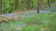 Bluebells in Spring, in Woodland near Ambleside, Lake District, UK.