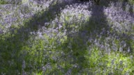 Bluebells near Ambleside in the English Lake District, Cumbria, UK.