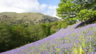 Bluebells on Loughrigg Terrace above Grasmere in the Lake District National Park, Cumbria, UK.