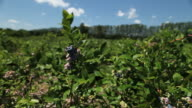 MS Blueberry bushes blowing in wind / Milton, Ontario, Canada