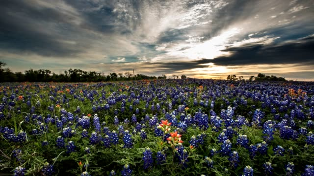 Bluebonnet Wildflower Timelapse