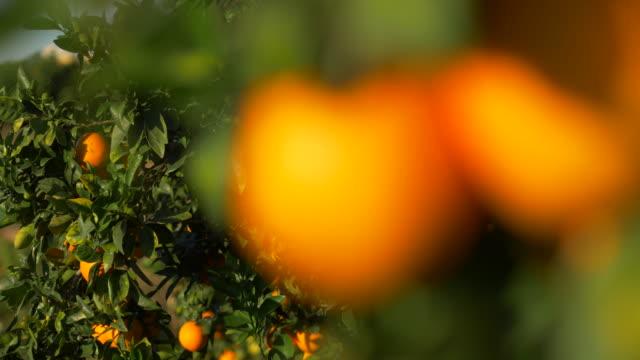 blurred motion, sunlight on ripe oranges