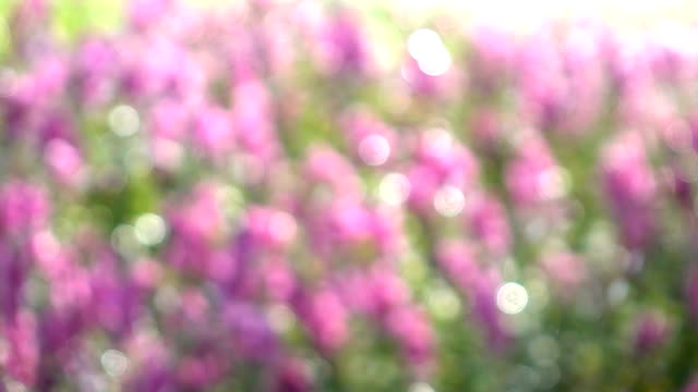 blurred shot, Sprinkler water in pink flowers garden, slow motion