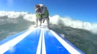 Board wielding cool canines battle it out on the California waves for the 5th annual Surf City dog surfing competition CLEAN Dog surfers battle it...