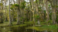 Boat POV, moving into Spanish moss-covered cypress tree forest in swamp, Caddo Lake, on the Texas/Louisiana border