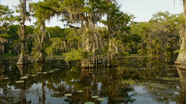 Boat POV, moving through Spanish moss-covered cypress tree swamp, tilts up going under trees, Caddo Lake, on the Texas/Louisiana border
