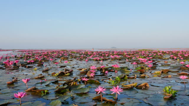 Boat trip at pink lotus lake, Udon Thani Province, Thailand.