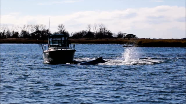 Boaters beware Humpback still stuck in Reynolds Channel I first spotted him Thursday November 9th inside the channel separate video on my Vimeo...