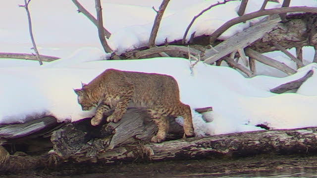 Bobcat, walking, sitting, hunting along Madison River, Yellowstone National Park, Wyoming