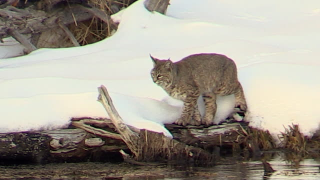 Bobcat, walking, sitting, hunting along Madison River, Yellowstone National Park, Wyoming