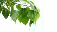 Bodhi leaf flew by the wind
