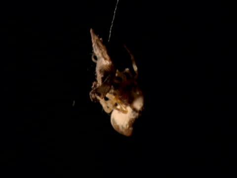 Bolas spider wraps moth prey with silk