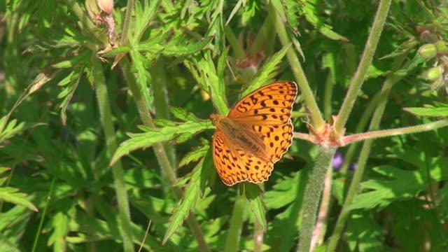 Boloria euphrosyne butterfly
